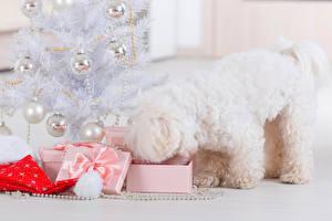 Фотография Новый год Собаки Болоньез Новогодняя ёлка Шарики Подарок животное