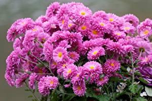 Фотографии Хризантемы Букеты Много Розовая Цветы