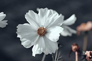 Фотография Крупным планом Космея Размытый фон Белый Цветы