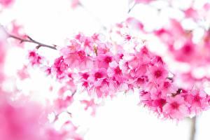 Картинка Крупным планом Цветущие деревья Розовый На ветке Сакура Цветы