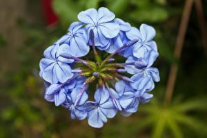 Картинка Вблизи Размытый фон Голубых Plumbago цветок