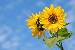 Фотографии Вблизи Подсолнечник Размытый фон Желтая цветок