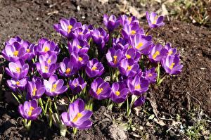 Фотографии Шафран Много Фиолетовых цветок