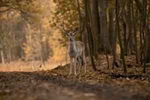 Картинки Олени Осень Леса Размытый фон животное