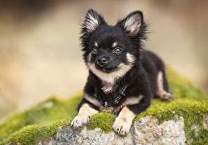 Фотография Собака Чихуахуа Щенков Лап Боке Животные