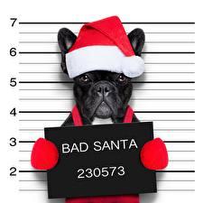 Картинки Собаки Французский бульдог Новый год Забавные Шапка BAD SANTA