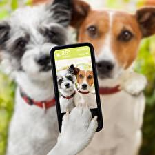 Обои для рабочего стола Собаки Селфи Сматфоном Джек-рассел-терьер Лапы животное