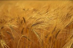 Фотографии Поля Колос Размытый фон Barley