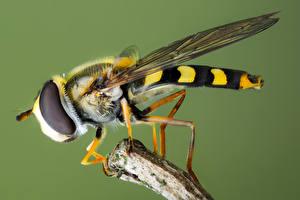 Картинки Мухи Насекомое Вблизи syrphidae животное