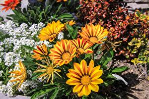 Фотография Газания Желтый цветок