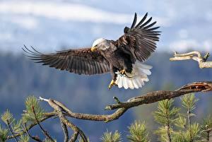 Обои Ястреб Птица Белоголовый орлан На ветке Охота Животные