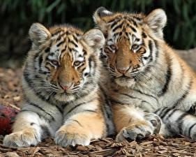Фото Тигры Двое Лап Животные