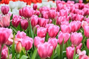Фото Тюльпаны Много Розовых