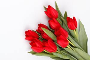 Фотография Тюльпан Красная Белым фоном