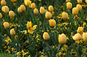 Картинка Тюльпаны Желтая Боке Цветы