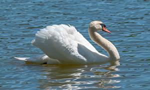 Фотографии Вода Птицы Лебедь Белые Животные