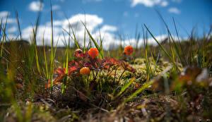 Картинка Ягоды Трава Размытый фон cloudberry Природа