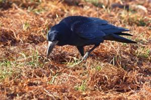 Картинка Птицы Вороны Траве животное