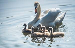 Обои для рабочего стола Птицы Лебеди Птенец Вода животное