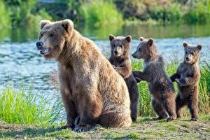 Обои Медведи Бурые Медведи Детеныши Четыре 4