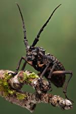 Картинка Жуки Насекомые Вблизи phantasis avernica животное