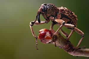 Обои Жуки Насекомое Вблизи weevil
