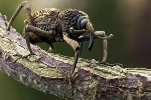 Фото Жуки Насекомые Вблизи weevil