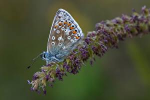 Фотография Бабочки Насекомое Боке common blue