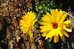 Картинки Ноготки Вблизи Боке Желтый Цветы
