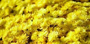 Фотографии Хризантемы Крупным планом Много Желтых цветок