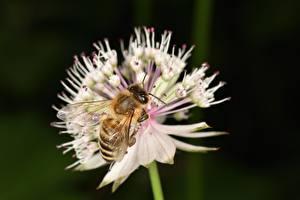 Фотографии Крупным планом Пчелы Насекомые
