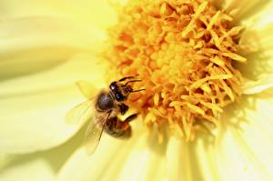 Обои Крупным планом Пчелы Насекомые