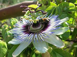 Картинка Крупным планом Пчелы Насекомые Passion Flower, Passiflora Цветы
