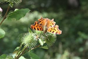 Фотографии Вблизи Бабочки Насекомые Размытый фон Small tortoiseshell