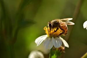 Картинка Крупным планом Насекомые Пчелы Боке