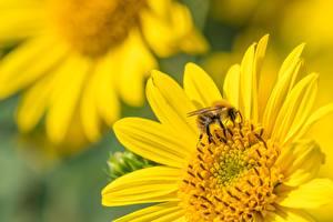 Картинки Крупным планом Насекомое Пчелы Размытый фон Животные