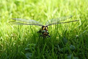 Фото Крупным планом Насекомое Стрекозы Трава Животные