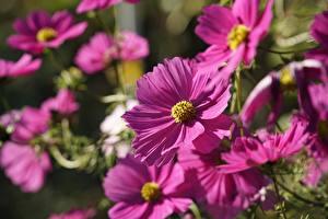 Фото Космея Боке Розовая Цветы
