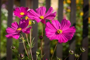 Картинки Космея Вблизи Пчелы Насекомое Боке цветок
