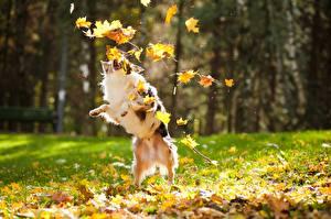 Обои Собаки Осенние Листва Играет животное