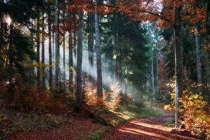Фотографии Леса Осенние Тропинка Дерево Листья Лучи света Природа