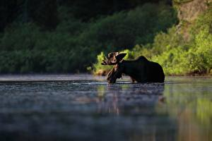 Картинки Лоси Вода Животные