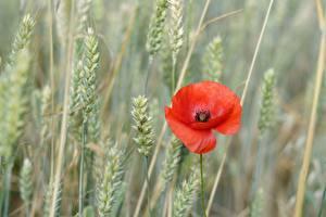 Картинки Маки Красных Колосок Боке цветок