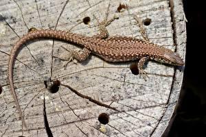 Фото Рептилии Ящерица Сверху Хвост Животные