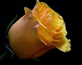 Картинка Роза Крупным планом Черный фон Желтая цветок