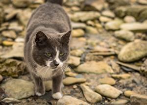 Картинка Камень Кошки Размытый фон Смотрят животное
