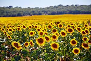 Обои Лето Поля Подсолнухи Много цветок