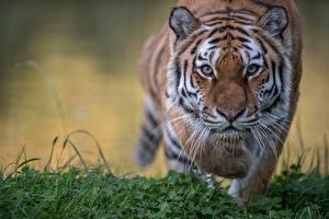 Картинки Тигры Взгляд Морды Животные