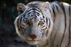 Картинка Тигр Белых Морда Смотрят животное