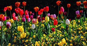 Фотография Тюльпан Много Разноцветные